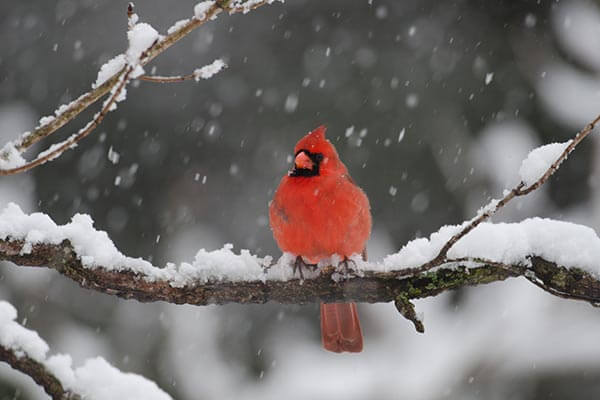 CookieText cardinal in the snow